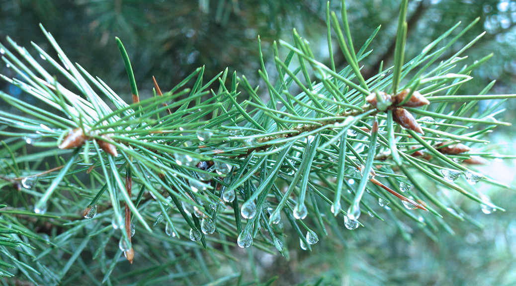 Evergreen with dewdrops